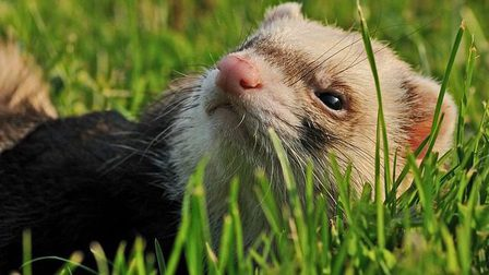Ferret-1871994_640_thumb_main